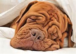 wrinkledog